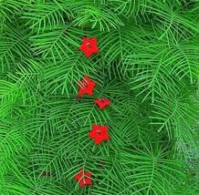 50 Flower Seeds - Cypress Vine Mix Ipomoea Quamoclit Convolvulus #SFB15 - $17.99