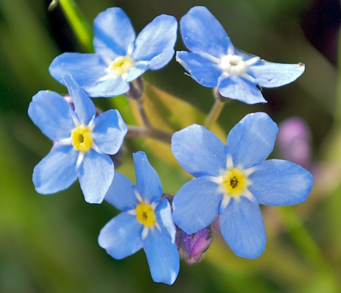 Primary image for SHIPPED From US, FORGET ME NOT FLOWER SEEDS 100 FRESH SEEDS*FREE SHIPPING-SPM