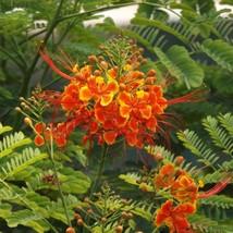 CAESALPINIA PULCHERRIMA Pride of Barbados 50 seeds - $52.99
