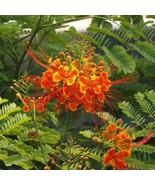 CAESALPINIA PULCHERRIMA Pride of Barbados 50 seeds - $50.34