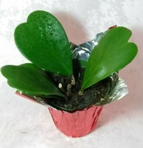 Premium Hoya Kerrii Sweetheart Plant Home Office Easy to Grow in 4'' Cov... - €25,58 EUR