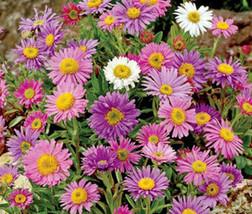 50 Seeds Aster Alpine Mixed Colors Aster Alpinus, DIY Decorative Plant ov004 - $9.31