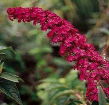 10 Pcs Seeds Red Butterfly Bush Buddleia Davidii Flower - DL - $16.00
