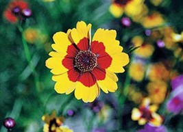 Coreopsis,Plains Tall flower seeds, Bright yellow blooms with red centers. - $4.99
