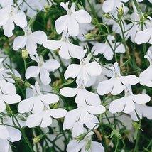 50 Seeds Lobelia Fountain Sereis White Annual - $19.60