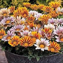 100 Seeds Gazania Seeds Stripe Mix Flower Seeds Garden Seeds TkMorebargins - $38.61