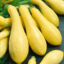 Non GMO Early Prolific Straightneck Squash - 10 Seeds - $7.99