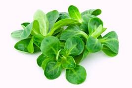Corn Salad Mache Lamb's Lettuce Non GMO Heirloom Vegetable Seeds Sow No GMO® USA - $4.94+