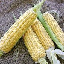 1/2 lb Seeds of Bodacious Corn - $37.52
