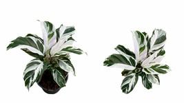 "4"" Pot - Calathea White Fusion - houseplant - gardening - Outdoor Living - $61.99"