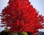 Autumn blaze red maple tree  20 seeds  clearly superior tree seeds thumb155 crop