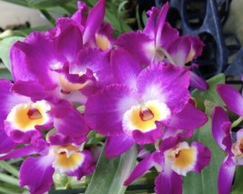 Dendrobium Comet King Akatsuki Orchid Plant Blooming Size. NOBILE - $22.49