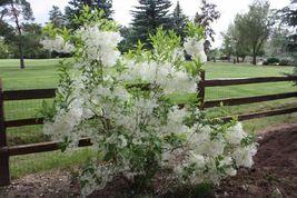 White Fringe tree quart pot image 4