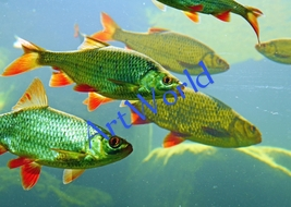 Digital download,Fishes,Photography,Christmas decor wall,Home wall art,P... - $4.50