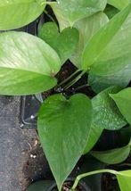 """Jade Green Pothos 4"""" Pots tropical Indoors & Outdoors plants ~ well root... - $21.99"""