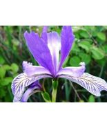 SHIPPED From US, WILD BLUE IRIS FLOWER SEEDS FREE SHIPPING 25 FRESH SEED... - $22.99