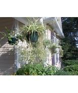 'VITTATUM' SPIDER PLANT BABIES (10) VARIEGATED - $5.00