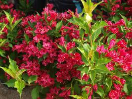Ruby Red Weigela (Weigela rubrun) image 1