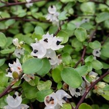 1 Starter Plant of Muehlenbeckia Complexa 'Tricolor' - $53.46