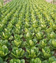 Euro lettuce seed 100seed - $4.99