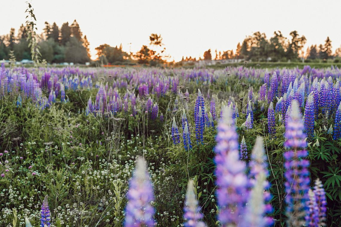 Primary image for Wild Lupine Seeds | Sundial Lupine Seeds | 10 seeds