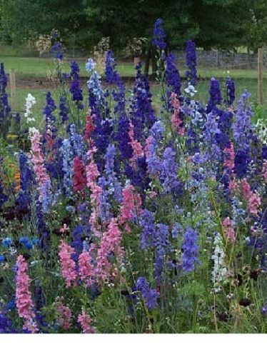SHIPPED From US,PREMIUM SEED: 185 Particles of Larkspur, Fresh Hand-Packaged