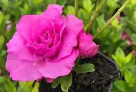 "Azalea ""Amelia Rose"" (Rhododendron) Live Starter Plant – Southstr - $33.25"