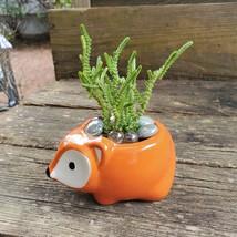 """Succulent in Fox Planter, Live Plant Watch Chain Crassula muscosa 5"""" Orange Pot image 2"""