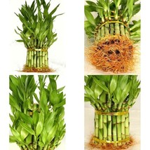 Lucky Bamboo Plant From China Total About 38 Stalks Houseplant Indoor Be... - $21.73