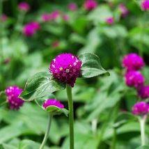 SHIP FROM US 100 Gomphrena Purple Globe Flower Seeds (Gomphrena Globosa), UTS04 - $19.98
