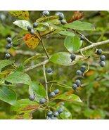 1 Gallon Pot Black Gum Tree Established Rooted 1 Plant - $63.99