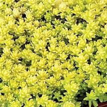 40 Sedum 'Aurea' - Live Plant - Perennial Ground Cover - Drought resistant - $126.42