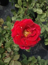 Mr. Lincoln Red 2 Gal Big Live Bush Plant Floribunda Plants Fine Roses Landscape - $43.60