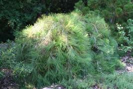 Pinus strobus 'Pendula' - Weeping Eastern White Pine 1gal tree - $66.98