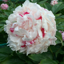 5 Pcs White Little Red Peony Shrub Flower Seeds Very Graceful - $14.05