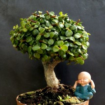 Perfect bonsai - Portulacaria afra 'cork bark'-12 year old For professionals - $129.20
