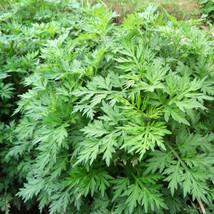 3 Mugwort Starter Plants Ai Cao Artemisinin Artemisia Argyi Herbs - $50.00