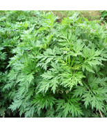 3 Mugwort Starter Plants Ai Cao Artemisinin Artemisia Argyi Herbs - $80.00
