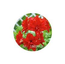 HAPPY FLOWER 2 Bulbs DINOYO True Hippeastrum Rutilum Amaryllis Love Symbol - $1.78