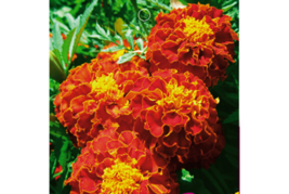 Fire Red French Marigold Annual Flowers Seeds, 50 Seeds, Original Pack - $13.58