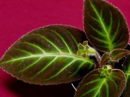 Gloxinella Lindeniana Gesneriad Episcia Terrarium Plant Gloxinia - $9.50