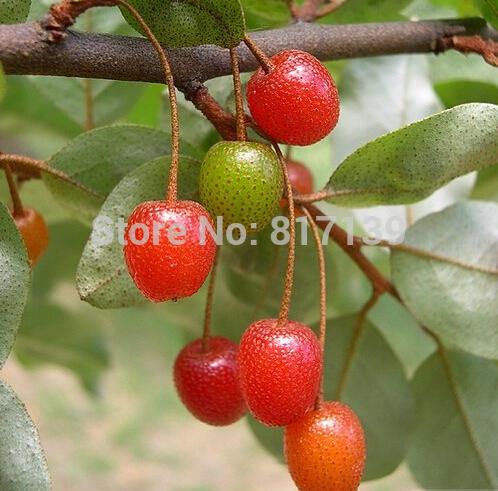 100 Seeds Autumn Olive Japanese Silverberry Elaeagnus umbellata Oleaster