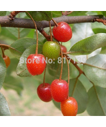 20 Seeds AUTUMN OLIVE/JAPANESE SILVERBERRY Bush Shrub Elaeagnus Umbella... - $3.99