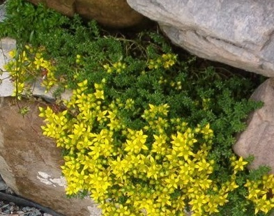 Primary image for Organic - 5 Plant - Gold Moss Stonecrop - Ground Cover