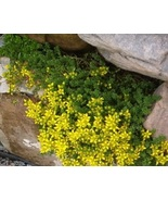 Organic - 5 Plant - Gold Moss Stonecrop - Ground Cover - $10.00