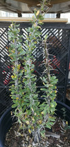 Fouquieria splendens Ocotillo Tall Canes Red Tube Flower Green After Rai... - $44.50
