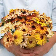 Flashback Mix Organic Calendula Seed /  Calendula Flower Seeds - $12.00