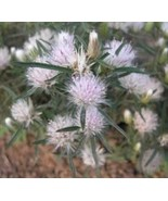 Dicoma Anomala - Indigenous South African Perrenial Shrub - 5 Seeds - $29.00