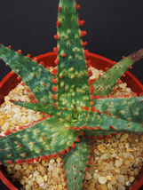 "SHIP From US, 4"" pot Aloe cultivar CORAL FIRE, succulent plant cacti ECC - $66.99"