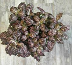 "4"" Pot Size Fittonia Pink Nerve Plant 1 Plant - $26.99"